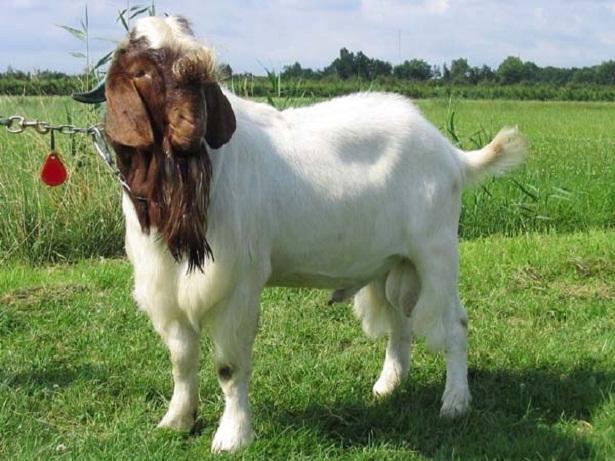 pejantan kambing boer