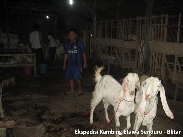 ekspedisi-kambing-etawa-blitar
