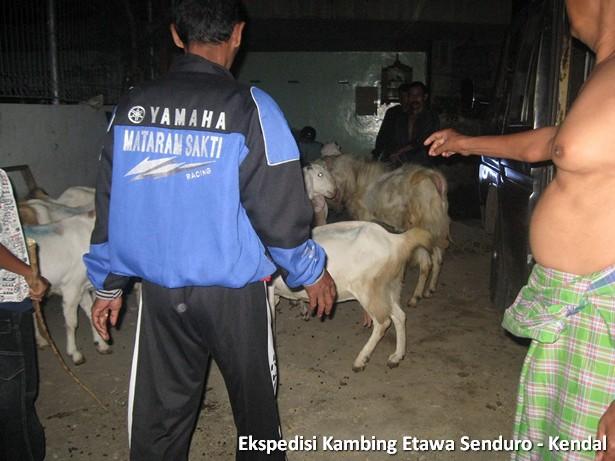 ekspedisi-kambing-etawa-kendal
