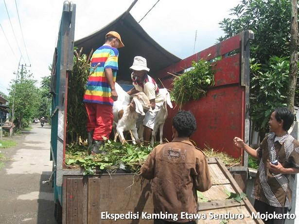 ekspedisi-kambing-etawa-mojokerto