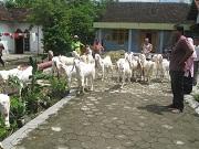 Ekspedisi Kambing Etawa Senduro Ke Mojokerto