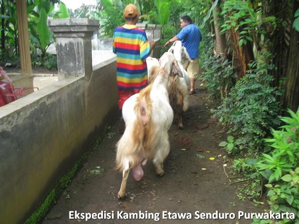 ekspedisi-kambing-etawa-senduro-ke-purwakarta