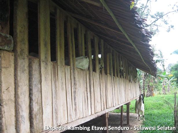 ekspedisi-kambing-etawa-sulawesi-selatan