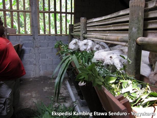 ekspedisi-kambing-etawa-yogyakarta