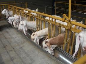 galeri kambing etawa perah senduro