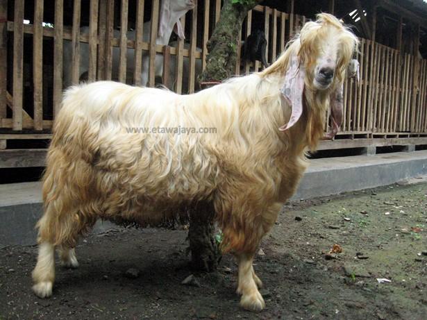 kambing-etawa-senduro-gembrong-angora