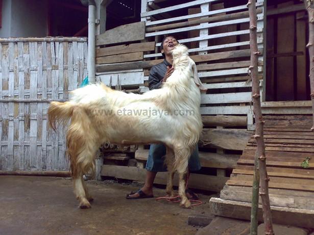 kambing-etawa-senduro-raksasa-putih