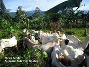 Ekspedisi Kambing Etawa Senduro Ke Sulawesi Selatan