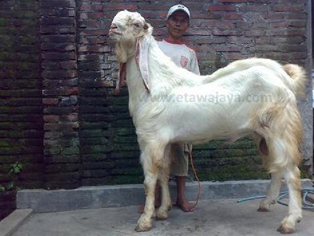 kambing etawa super senduro dewa jamnapari 40 cm