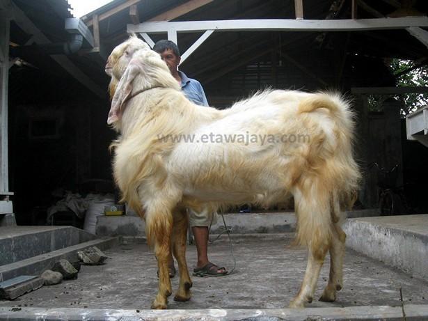 kambing-etawa-super-maharaja