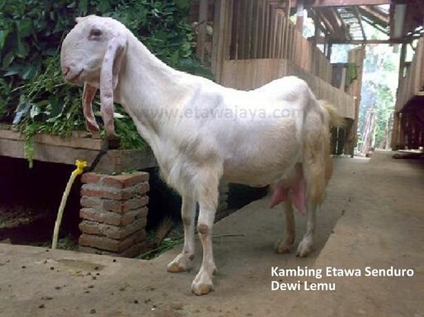 kambing-etawa-senduro-dewi-lemu-laktasi-2