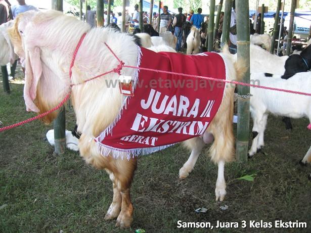 kambing etawa senduro super samson 130 kg