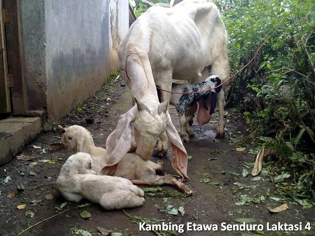 kambing peranakan etawa senduro laktasi 4