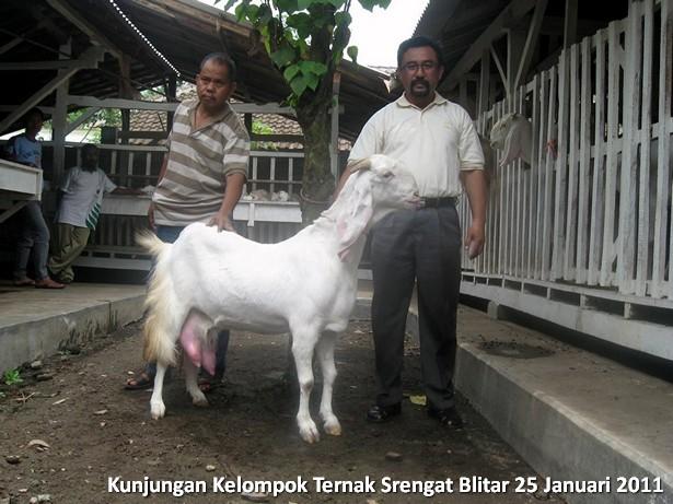 kelompok-ternak-kambing-etawa-srengat-blitar