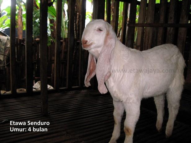 keunggulan-kambing-etawa-senduro