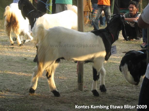 kontes-kambing-etawa-blitar-2009