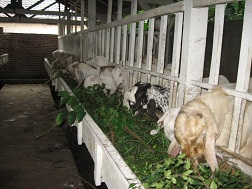 kandang kambing etawa
