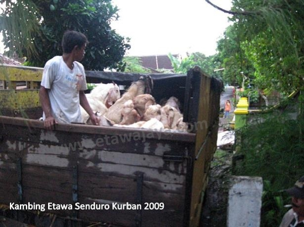 kambing-kurban-etawa-senduro