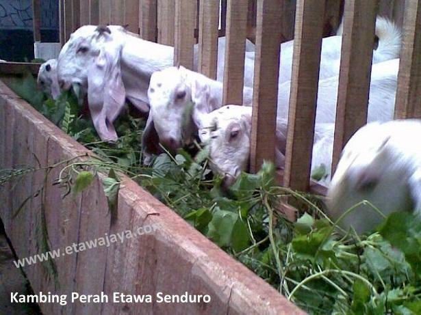 ternak-kambing-etawa-perah-senduro