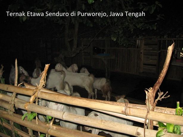 ternak kambing perah etawa senduro di purworejo jawa tengah