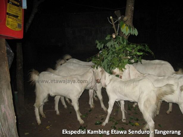 ekspedisi-kambing-etawa-tangerang