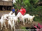Ekspedisi Kambing Etawa Senduro ke Tangerang (Bagian 1)