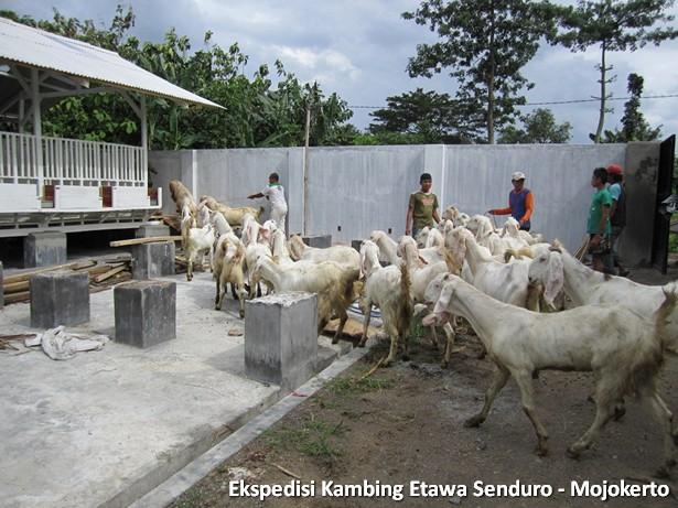 kambing-etawa-senduro-peternakan-mojokerto