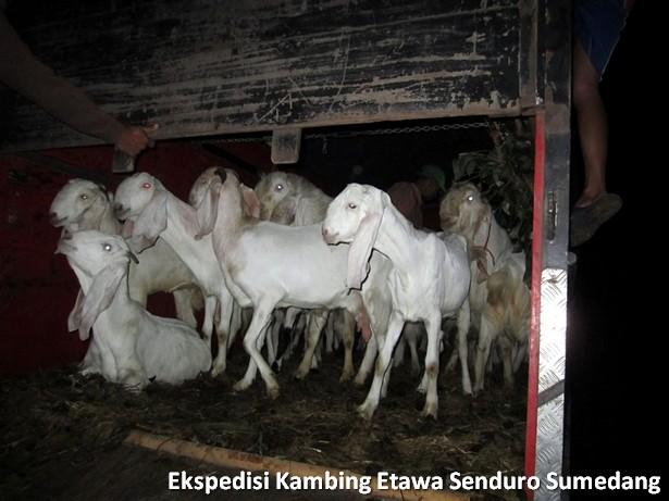 ekspedisi-kambing-etawa-senduro-sumedang