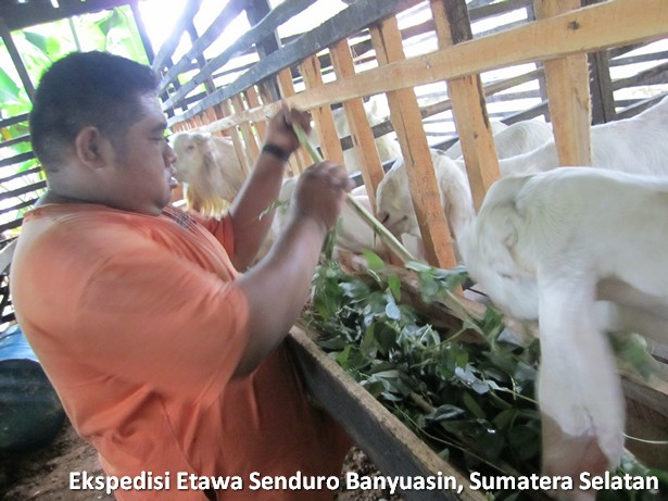ekspedisi-kambing-etawa-senduro-sumatera-selatan