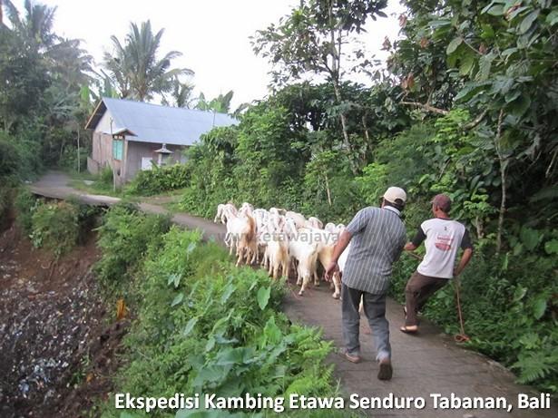 ekspedisi-kambing-etawa-senduro-bali
