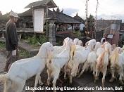 Ekspedisi Kambing Etawa Senduro Ke Bali 2