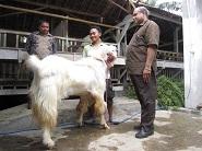 Kunjungan Disnak Fakfak Papua Barat 27 Oktober 2011