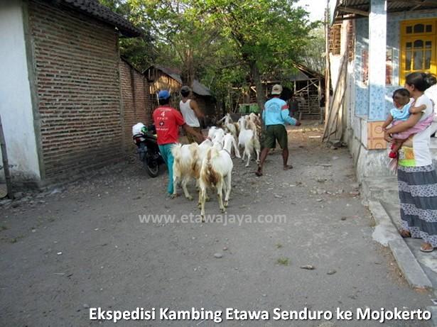 ekspedisi-kambing-etawa-senduro-mojokerto