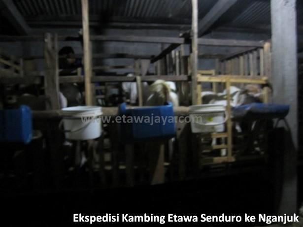 ekspedisi-kambing-etawa-senduro-nganjuk