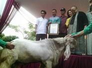 Samson Kambing Kurban Terberat yang Masuk Rekor MURI Indonesia
