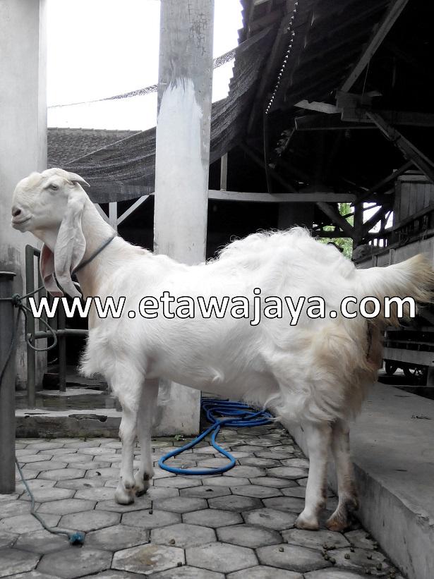 kambing-etawa-super-100kg-syahrini
