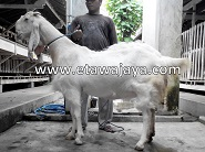 Kambing Etawa Super 100kg Syahrini