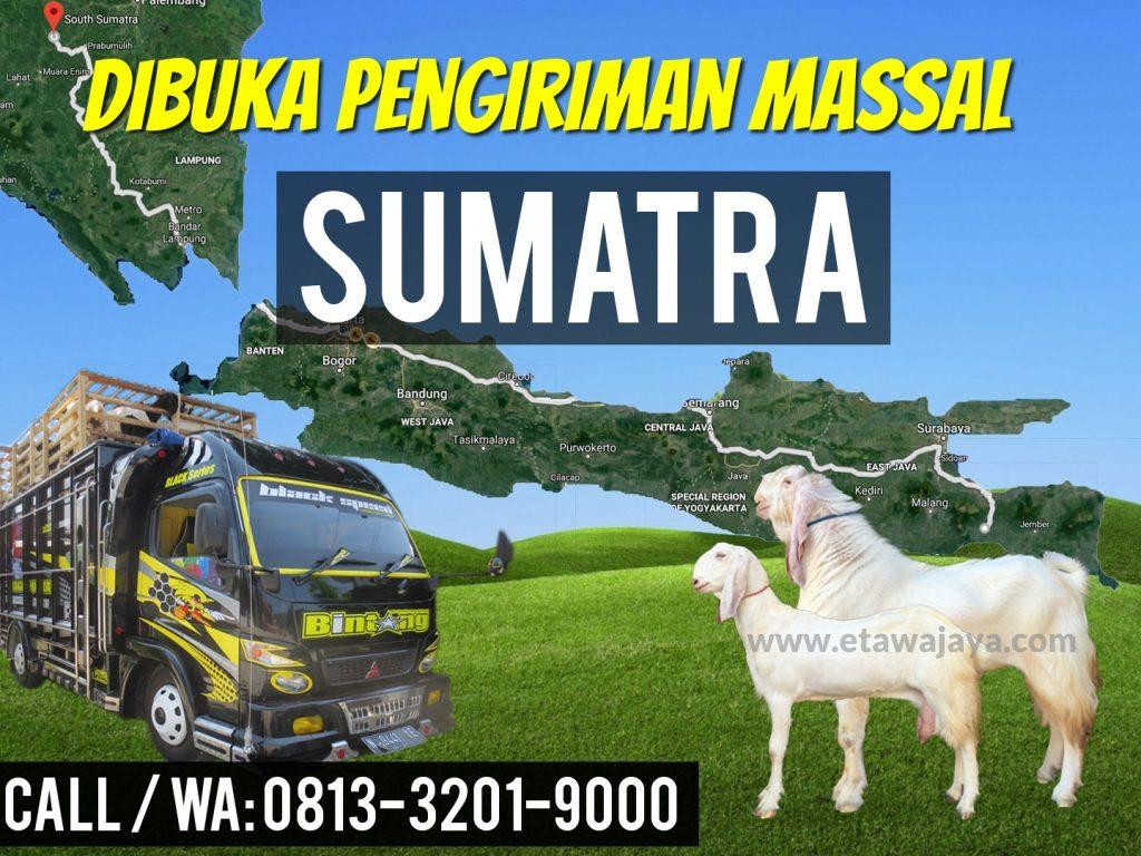pengiriman kambing etawa sumatra